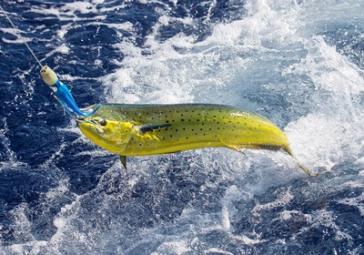 Summer Destination: Waters Flourishing with Mahi-Mahi