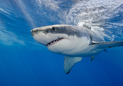 What Happens When You Catch a Great White Shark?