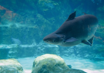 Could a Giant Catfish Cause an Earthquake? Yes! Kind of...