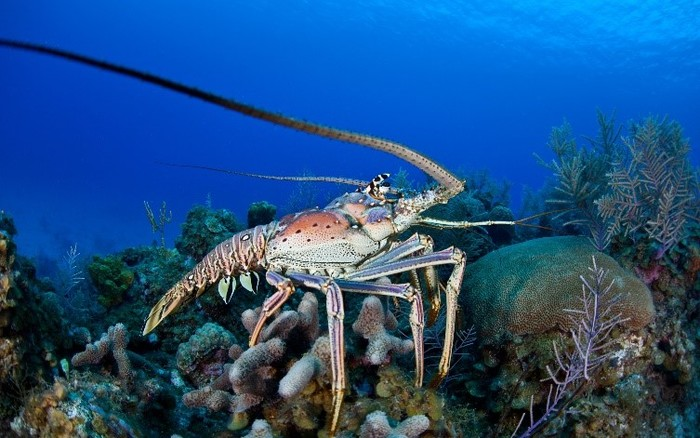 Diving into Florida's Spiny Lobster Season
