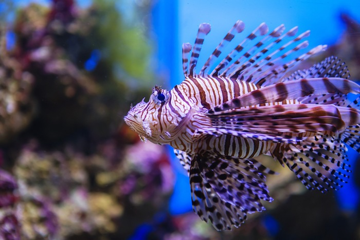 Just in Time for Thanksgiving: Meet the Turkeyfish