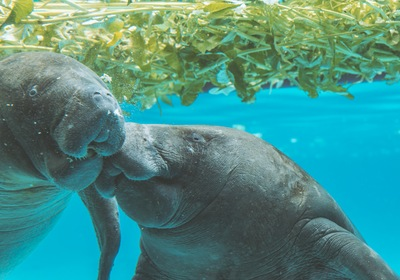 Exploring South Florida's Manatee Season